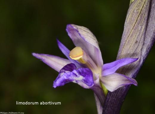 Limodorum abortivum legende