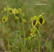 Ophrys lutea legende