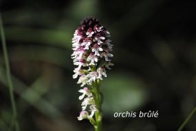 Orchis brûlé - legende