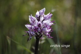 Orchis simia legende