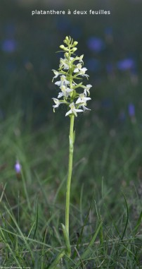 Platanthera bifolia legende
