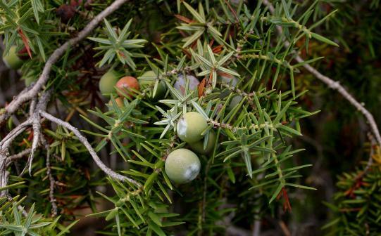 Juniperus-oxycedrus